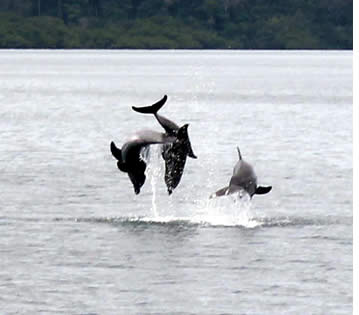 Große Tümmler Springen in Dolphin Bay in Bocas del Toro, Panama