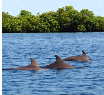 Delfini nuotare in Bocas del Toro, Panama